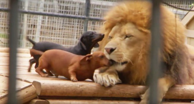 dogs licking lion